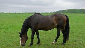 Лошадь жеребца pasturing на ограженном луге видеоматериал