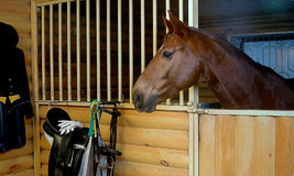 лошадь залива Стоковое Изображение