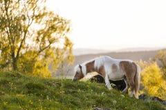 Лошадь засевая травой прямо прежде захода солнца Стоковая Фотография RF