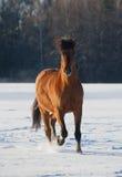 Лошадь залива в зиме Стоковое Изображение