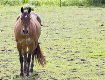 Лошадь залива в поле Стоковые Фото