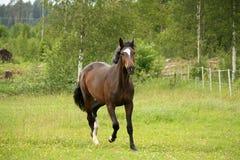 Лошадь залива идя рысью на поле Стоковая Фотография