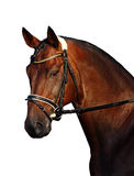 Лошадь залива на белизне Стоковые Фото