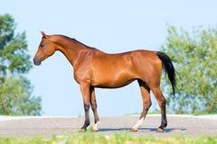 Лошадь залива стоя на голубом небе Стоковое Изображение RF