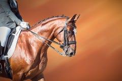 Лошадь залива: dressage - конноспортивный спорт Стоковое фото RF