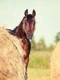Лошадь залива sportive почти с стогом сена Стоковое Изображение RF