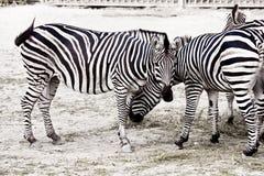 Лошадь зебры на сафари Стоковое фото RF