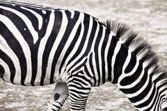 Лошадь зебры Стоковое фото RF