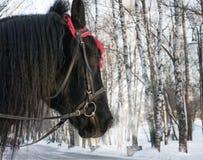 Лошадь зимы Стоковые Изображения