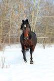 Лошадь идет зима Стоковые Фото