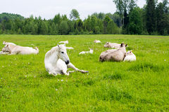 Лошадь и корова лежа на луге Стоковая Фотография