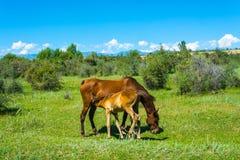 Лошадь и осленок пася в зеленом луге, Кыргызстан Стоковая Фотография