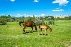 Лошадь и осленок пася в зеленом луге, Кыргызстан Стоковые Фото