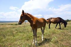 Лошадь и осленок пася стоковая фотография rf