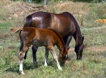 Лошадь и осленок стоковые изображения