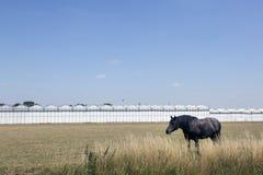 Лошадь и парники в Нидерланд около Waddinxveen Стоковая Фотография RF