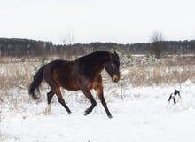 Лошадь и черно-белая собака играя в поле снега в зиме Стоковое фото RF