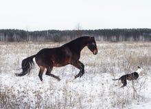 Лошадь и черно-белая собака играя в поле снега в зиме Стоковая Фотография RF