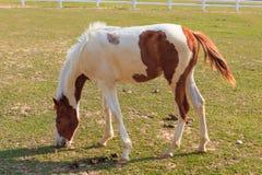 Лошадь идя и ища для еды Стоковая Фотография