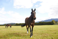 Лошадь идя к камере Стоковое Фото