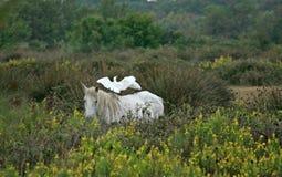 Лошадь и egret скотин, болото 'Vigueirat', Camargue, Франция Стоковые Изображения