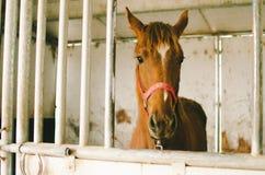 Лошадь каштана в стойле Стоковые Фотографии RF