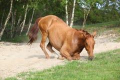 Лошадь каштана лежа вниз в песке в горячем лете Стоковая Фотография RF