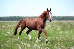 Лошадь каштана идя рысью на поле Стоковая Фотография
