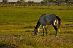 Лошадь, который нужно пасти Стоковое Изображение RF