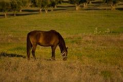 Лошадь, который нужно пасти Стоковая Фотография RF