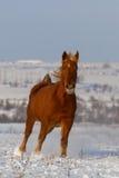 Лошадь, который побежали в поле снега Стоковое Изображение