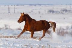 Лошадь, который побежали в снеге Стоковое Изображение RF