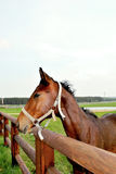 Лошадь кофе Стоковое Изображение