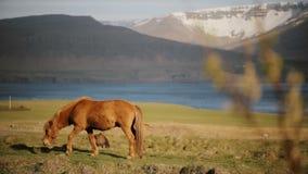 Лошадь красивого имбиря исландская есть траву, пася на поле Скотный двор или ранчо вне города акции видеоматериалы
