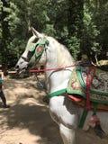 Лошадь Марокко Стоковые Изображения