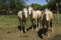 Лошадь мустанга Стоковое Изображение