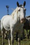 Лошадь мустанга Стоковое Изображение RF