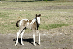 Лошадь младенца Стоковые Фото