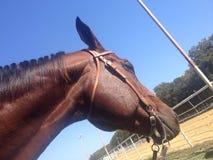 Лошадь наблюдая арену стоковая фотография rf