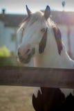 Лошадь на заходе солнца Стоковая Фотография RF
