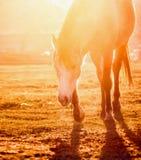 Лошадь на поле на оранжевом свете захода солнца Стоковые Изображения RF