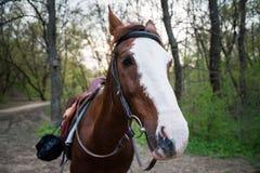 Лошадь на природе смотреть лошадей камеры Стоковые Изображения RF