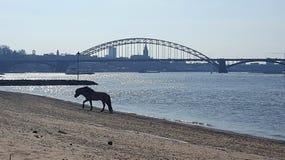 Лошадь на пляже Стоковое Изображение RF