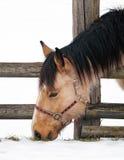 Лошадь на снеге пасет траву Стоковые Изображения RF