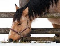 Лошадь на снеге пасет траву Стоковые Изображения
