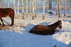 Лошадь на снежке Стоковая Фотография
