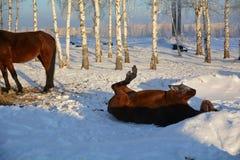 Лошадь на снежке Стоковое Изображение RF
