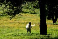 Лошадь на луге около сосны Стоковые Фото