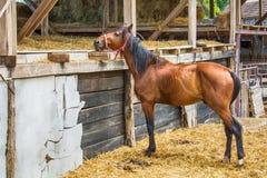 Лошадь на ферме Стоковое Изображение RF