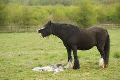 Лошадь оплакивая ее неподвижного принесенного осленка Стоковое фото RF